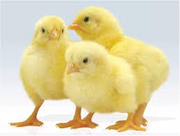 پخش انواع خوراک طیور تخمگذار