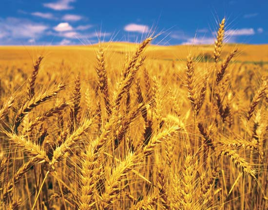 قیمت گندم شکسته دامی تهران