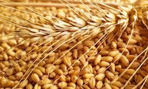 قیمت گندم شکسته خوراک دام طیور