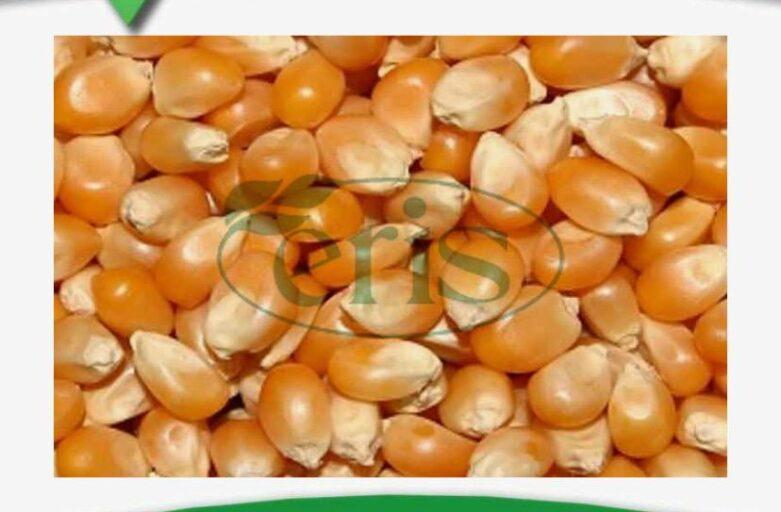 خرید و فروش دانه ذرت در خوراک دام و طیور