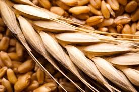 فروش گندم دامی در فروردین ماه ۱۴۰۰